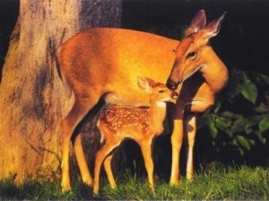 As the Fawn
