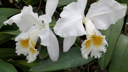 White and Yellow Frilled Orchids Biltmore House