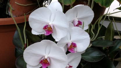 White Orchid with Pink Center Biltmore House